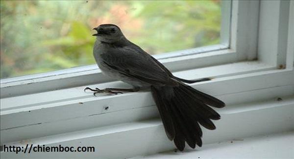 Chim bay vào nhà có điềm báo, đừng bỏ qua những điềm báo này