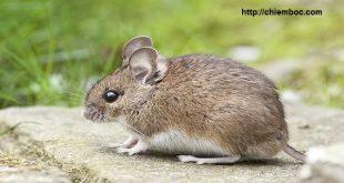 Mơ thấy chuột là điềm báo gì?