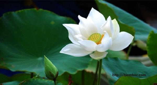 Nằm mơ thấy hoa sen là điềm báo gì?
