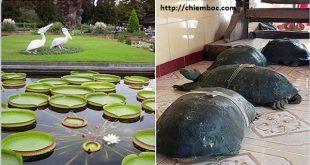 Ly kỳ chuyện rùa ăn chay, nghe kinh Phật và những chiếc lá sen khổng lồ tại chùa Phước Kiển